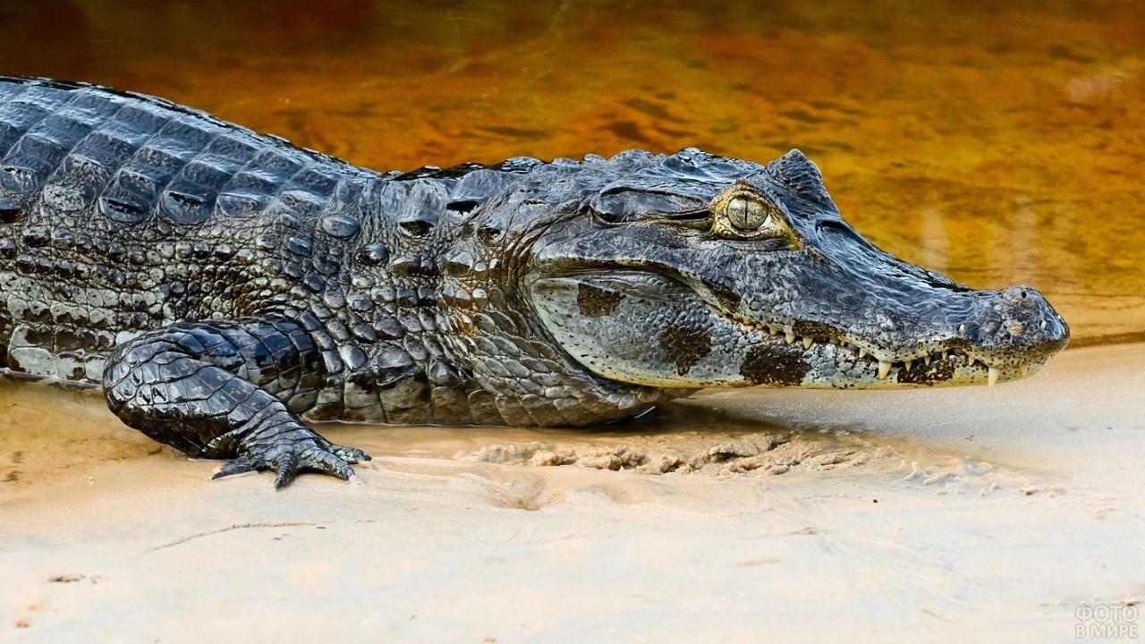 Необычный аллигатор лежит на песчаном берегу