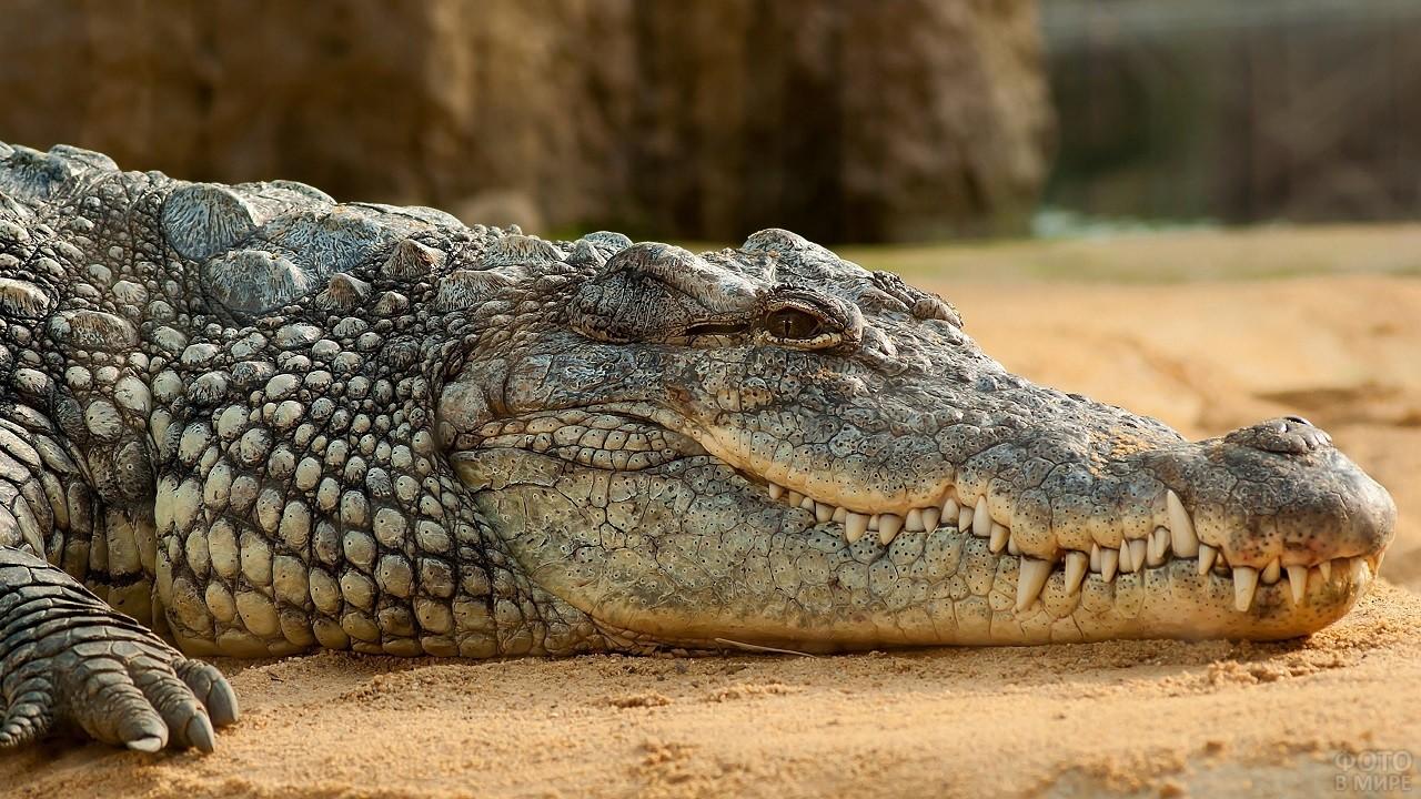 Нильский крокодил крупным планом