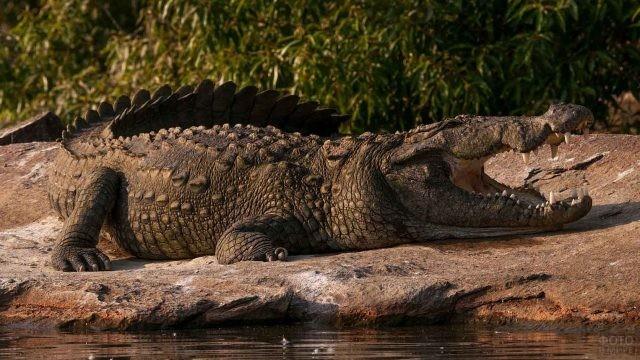 Нильский крокодил лежит на берегу озера