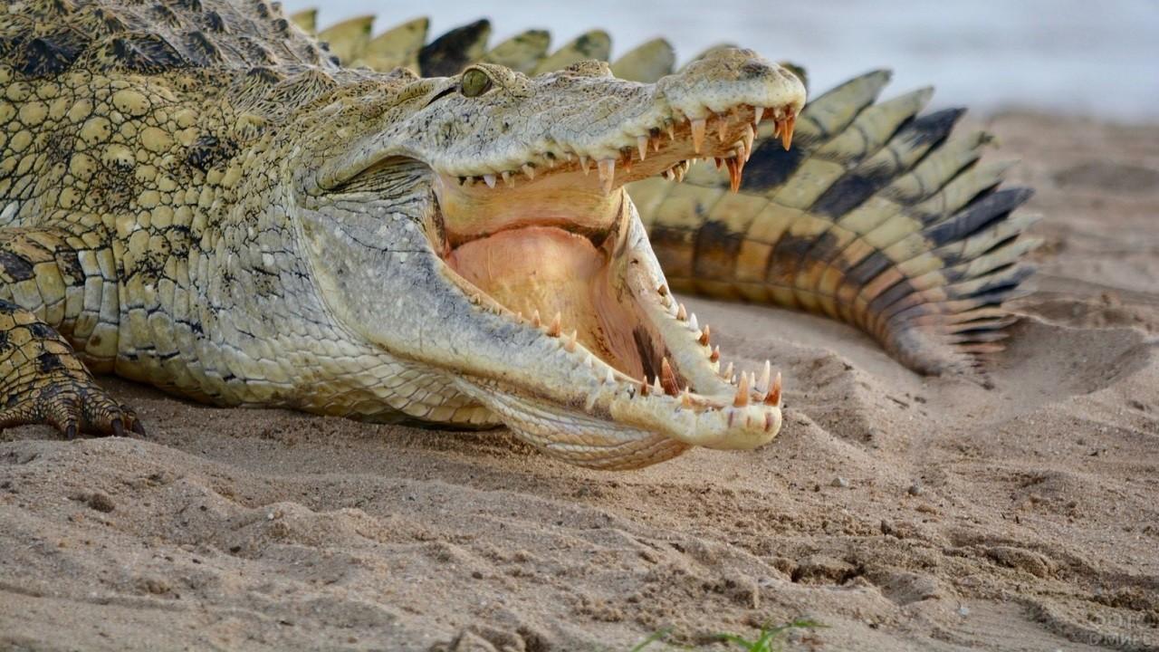 Нильский крокодил лежит на песке