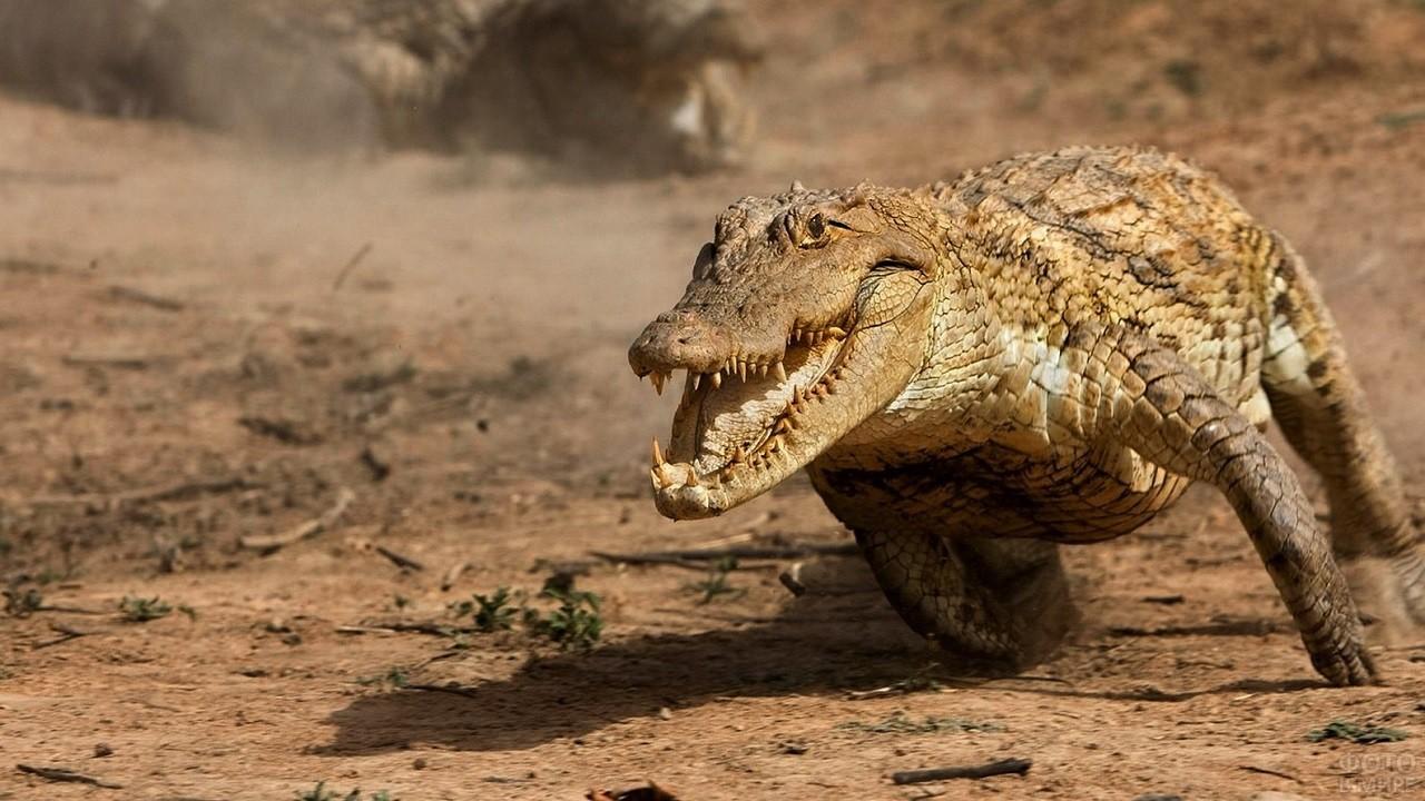 Огромный Нильский крокодил бежит по земле