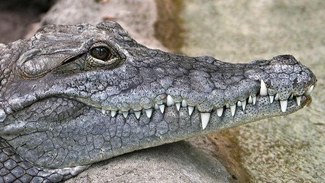 Острые зубы и необычные глаза крокодила