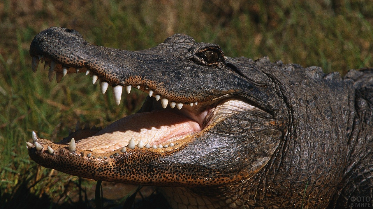Тёмного цвета крокодил с открытой пастью