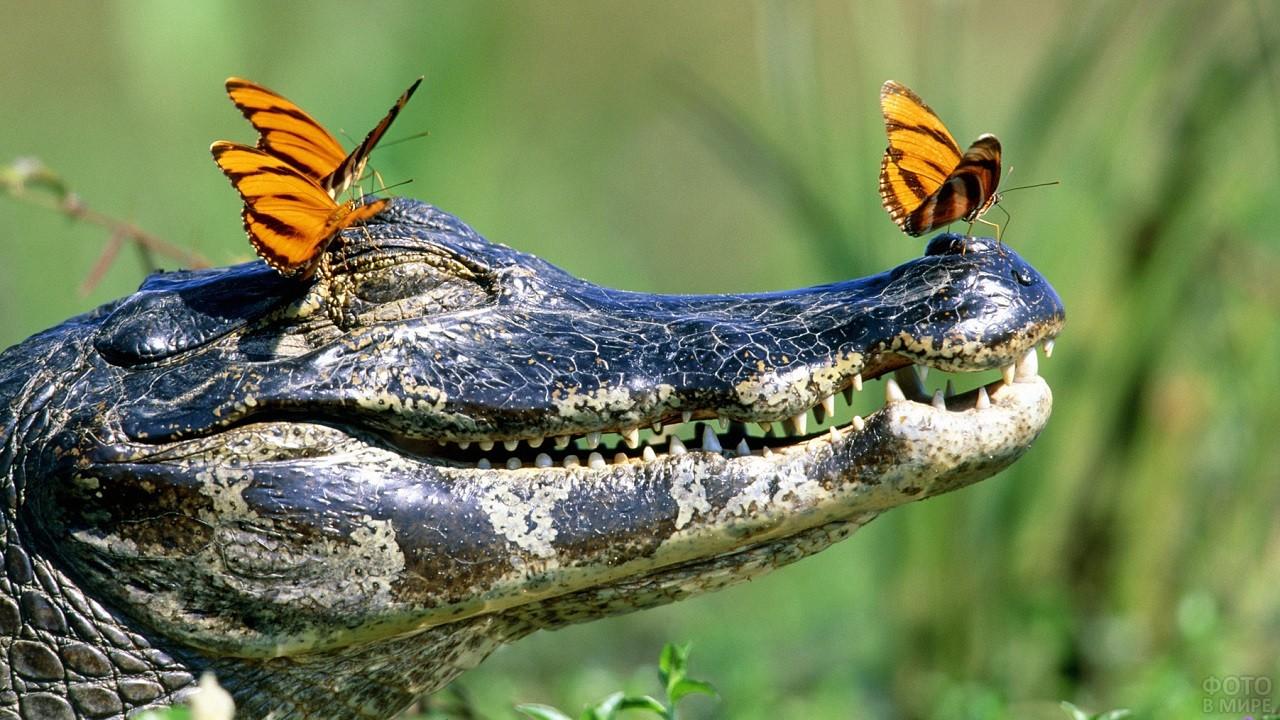 Три оранжевые бабочки сидят на крокодиле