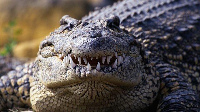 Вид спереди на зубастого крокодила