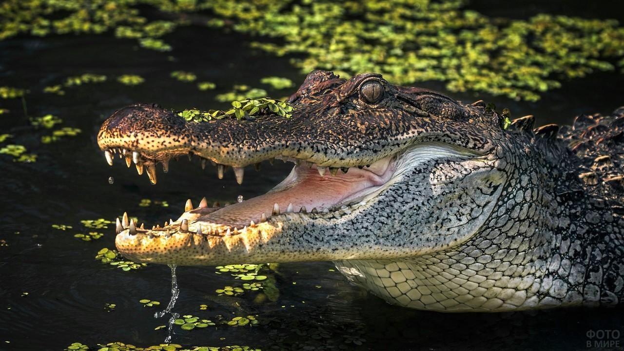 Вода стекает с открытой крокодильей пасти
