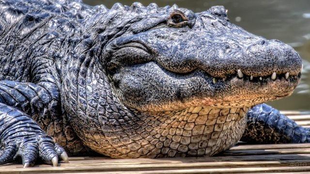 Взрослый крокодил лежит на земле