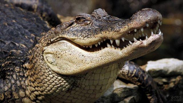Зубастая пасть гребнистого крокодила
