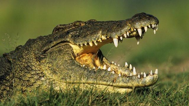Зубастый крокодил лежит на травке