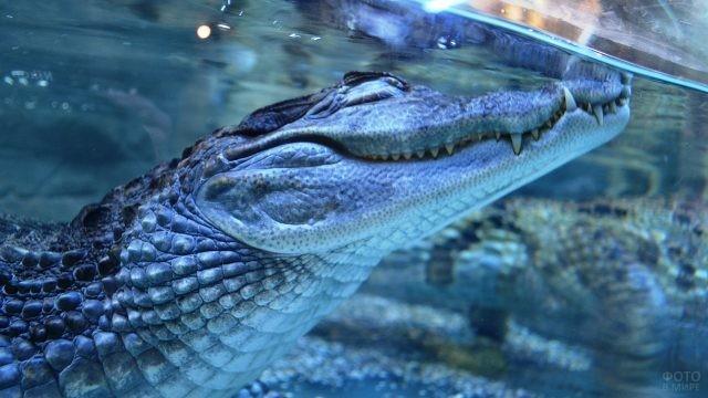 Зубастый крокодил под водой