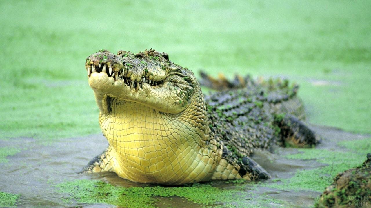 Зубастый крокодил стоит в воде