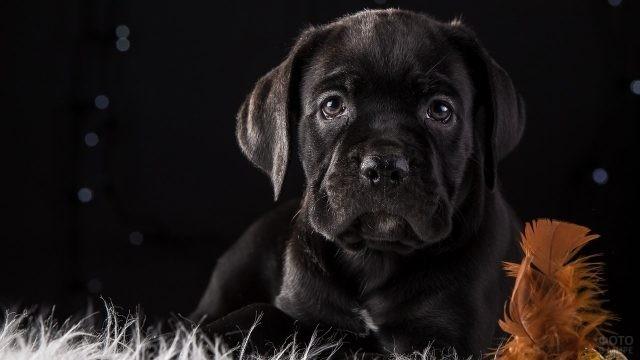 Красивый щенок кане корсо смотрит в камеру
