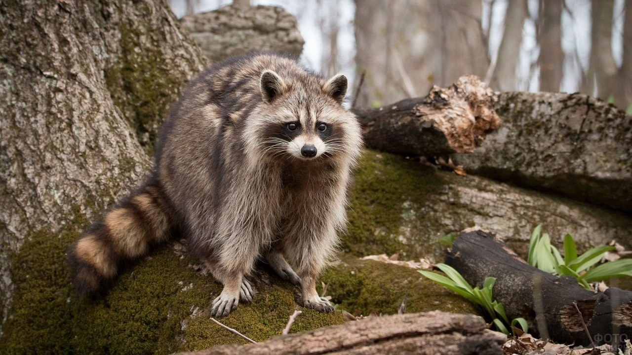 Дикий енот гуляет по лесу