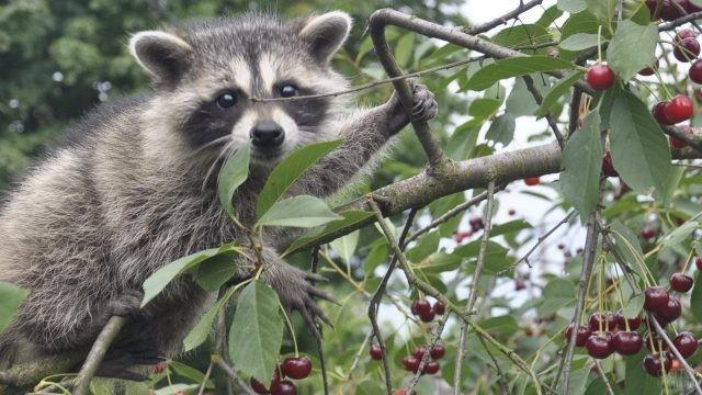 Довольный енот взобрался на вишнёвое дерево