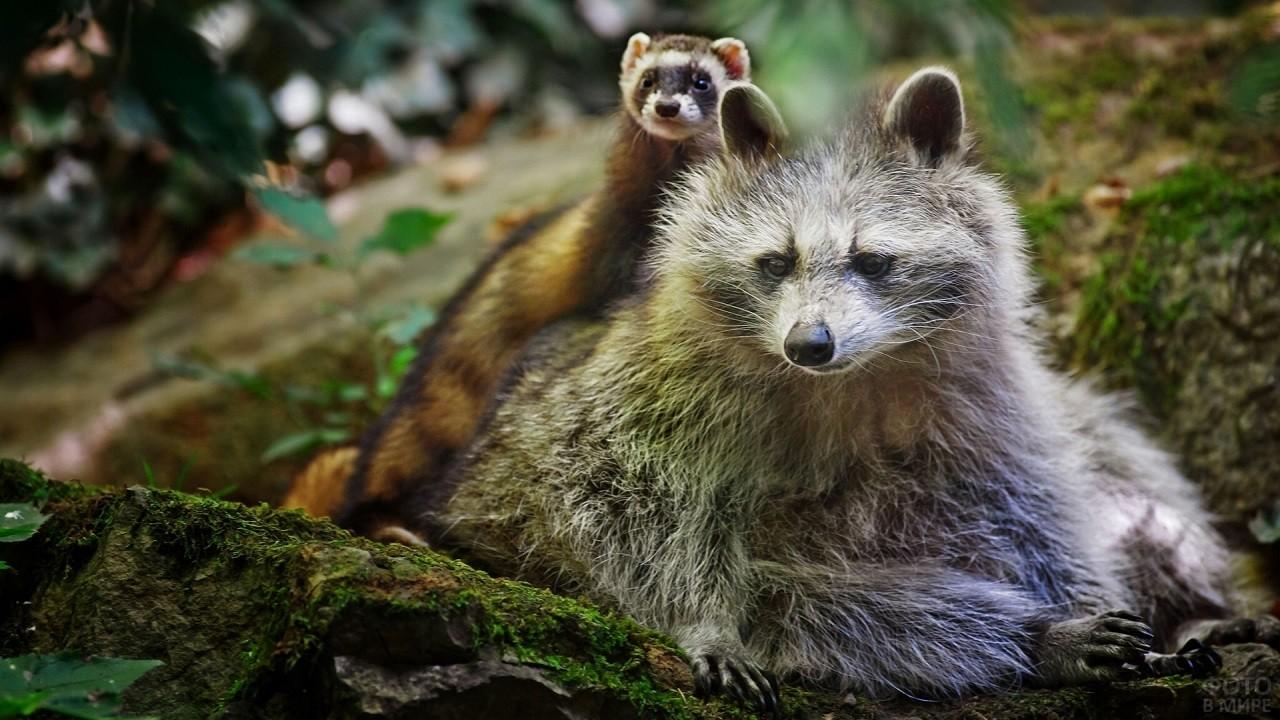 Енот сидит с хорьком посреди леса