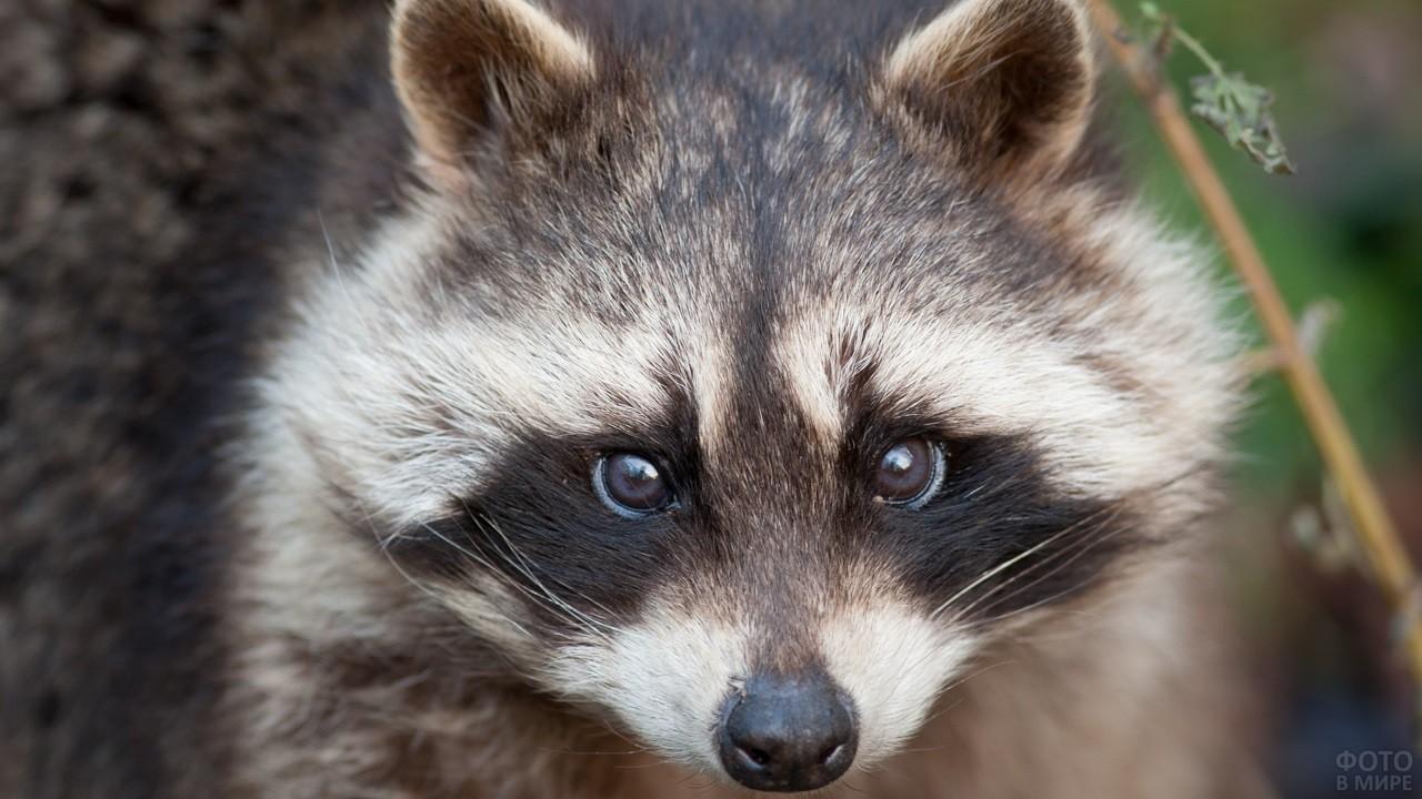 Милый енот с коричневыми глазками
