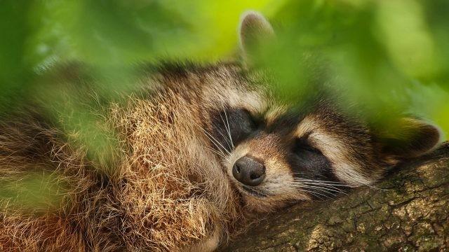 Полоскун сладко спит на дереве