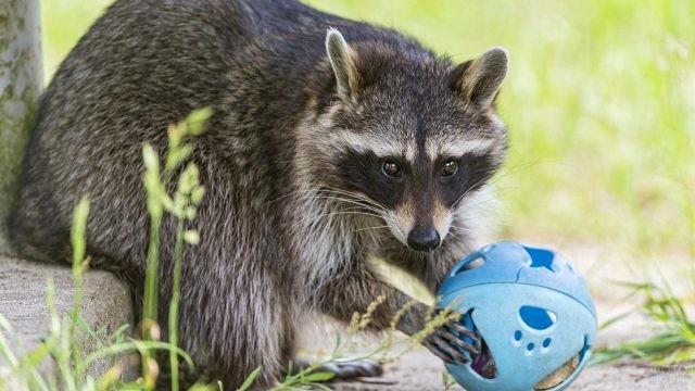Пушистый енот играет с мячиком