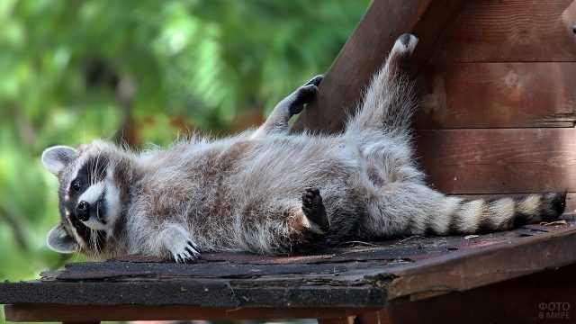Смешной енот-полоскун вальяжно разлёгся на крыше