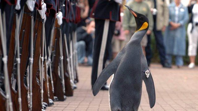 Сэр Нильс Улаф, королевский пингвин, живущий в зоопарке Эдинбурга