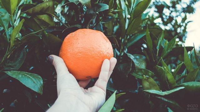 Девушка срывает апельсин с дерева