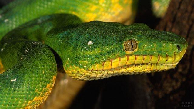Большой питон зелёного цвета смотрит вперёд