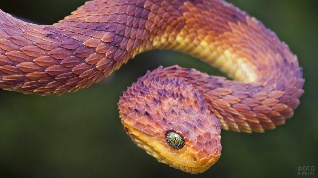 Чешуя необычного цвета шершавой змеи атерис