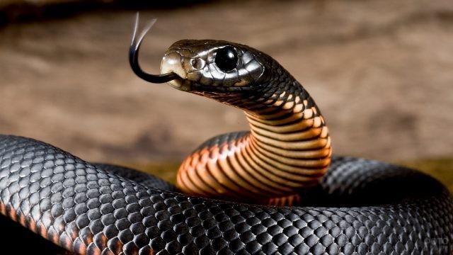 Чёрная змея с высунутым языком