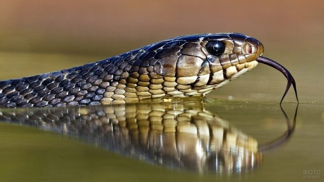 Ядовитая змея плывёт по воде