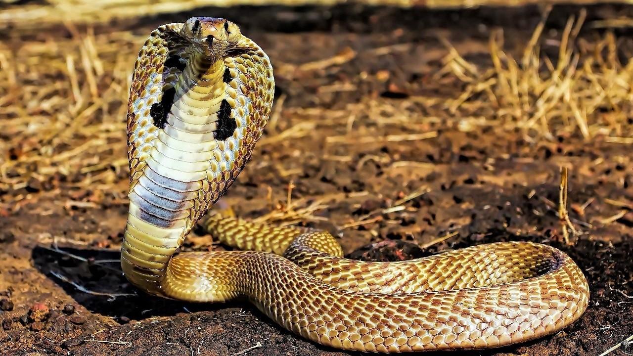 Королевская кобра поднялась над землёй, раскрыв капюшон