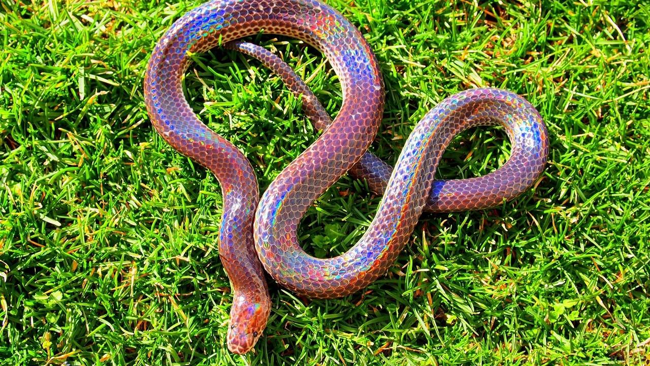 Лучистая змея ползёт по траве