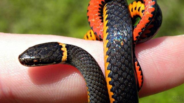 Маленькая цветная змея ползёт по пальцу