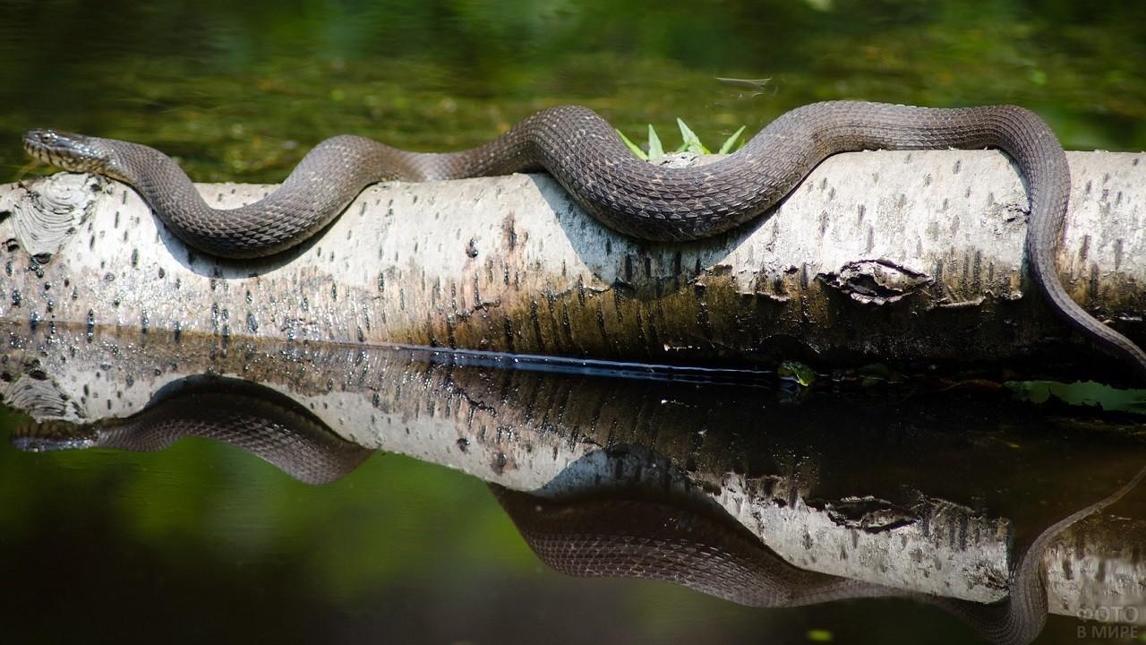Отражение большой змеи в воде