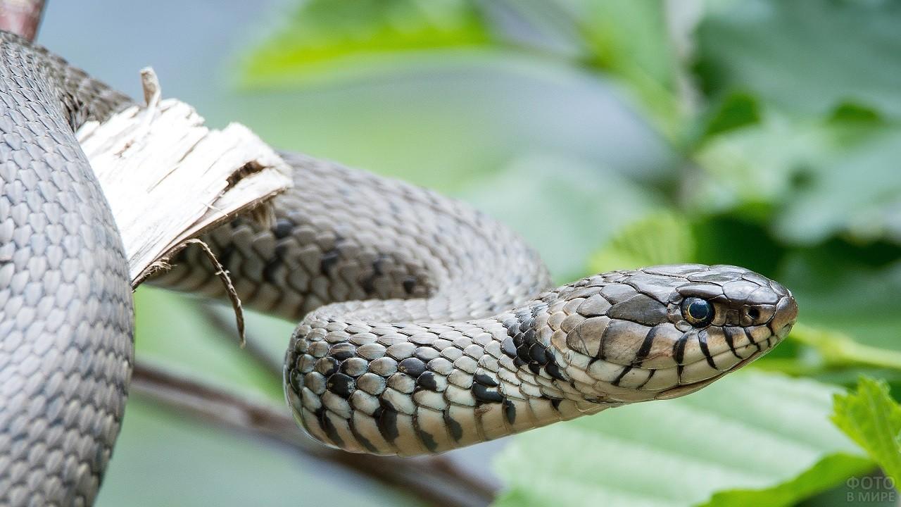 Серая змея ползёт среди листьев