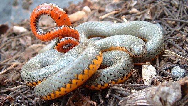 Точечная ошейниковая змея лежит среди маленьких веток