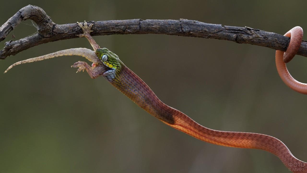 Тонкая змея поедает добычу, свисая с дерева