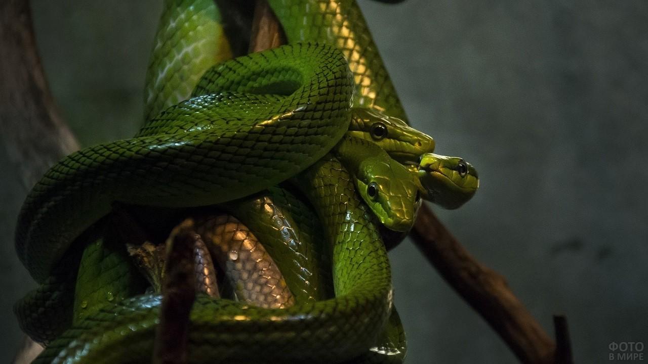 Три змеи в клубке
