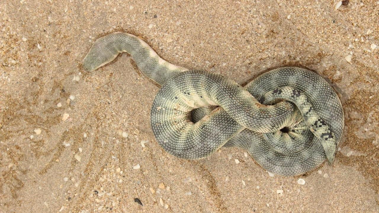 Водяная змея свернулась восьмёркой