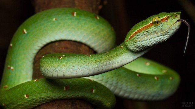 Зелёная змея с коричневыми пятнами высунула язык