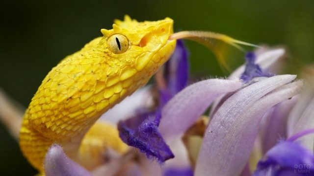 Жёлтый ботропс на сиреневом цветке