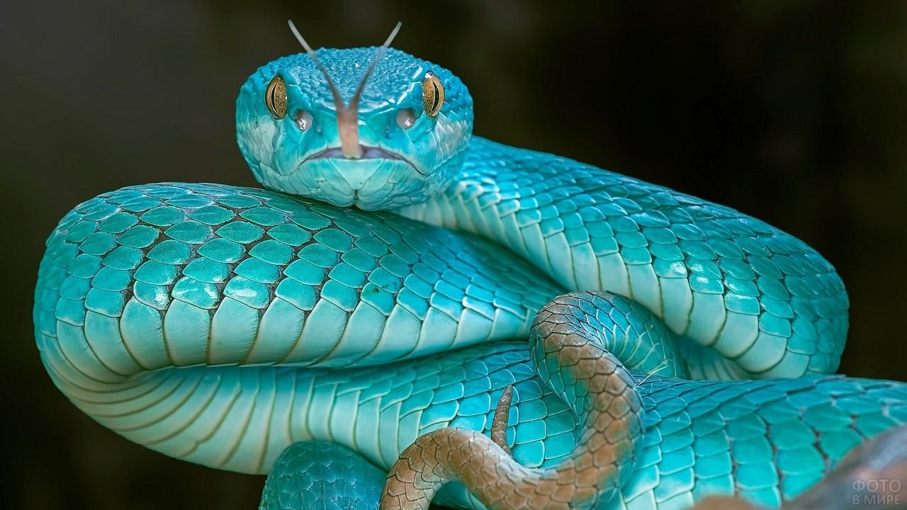 Змея голубого цвета высунула язык