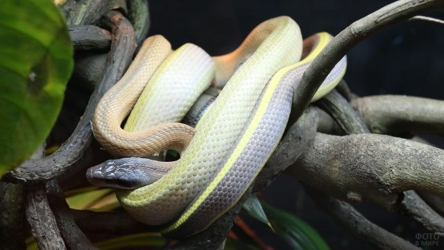 Змея необычного окраса обвилась вокруг дерева