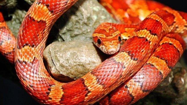 Змея оранжевого цвета лежит на камне