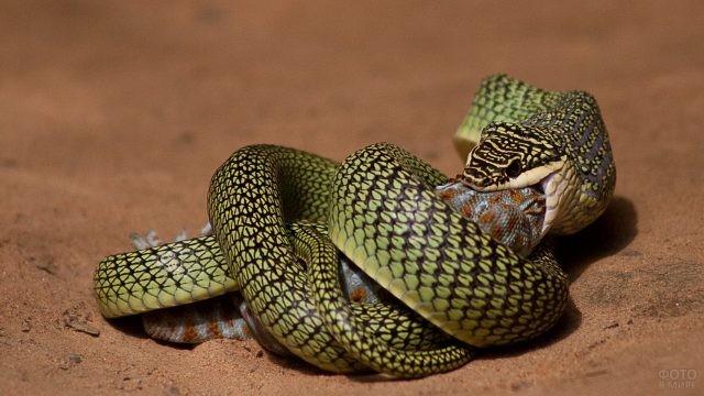Змея поедает свою жертву