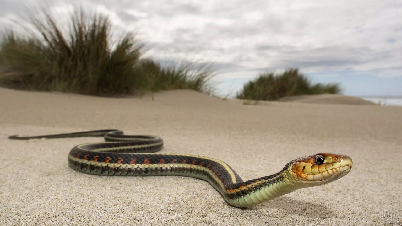 Змея ползёт по песчаному пляжу