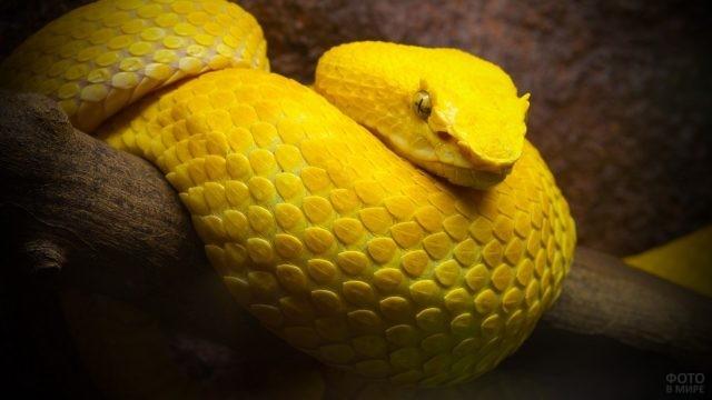Змея с чешуёй жёлтого цвета сидит на ветке