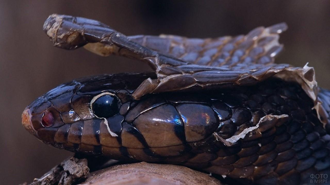 Змея скидывает старую чешую