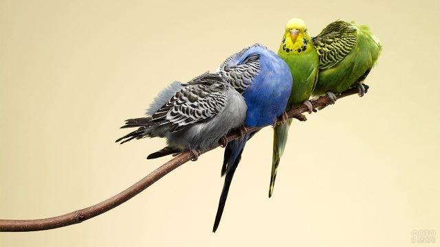 Четыре волнистых попугая сидят на краю ветки