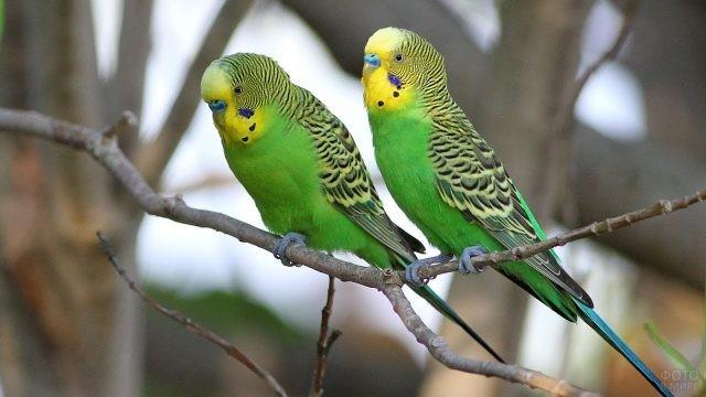 Два попугайчика сидят на одной ветке