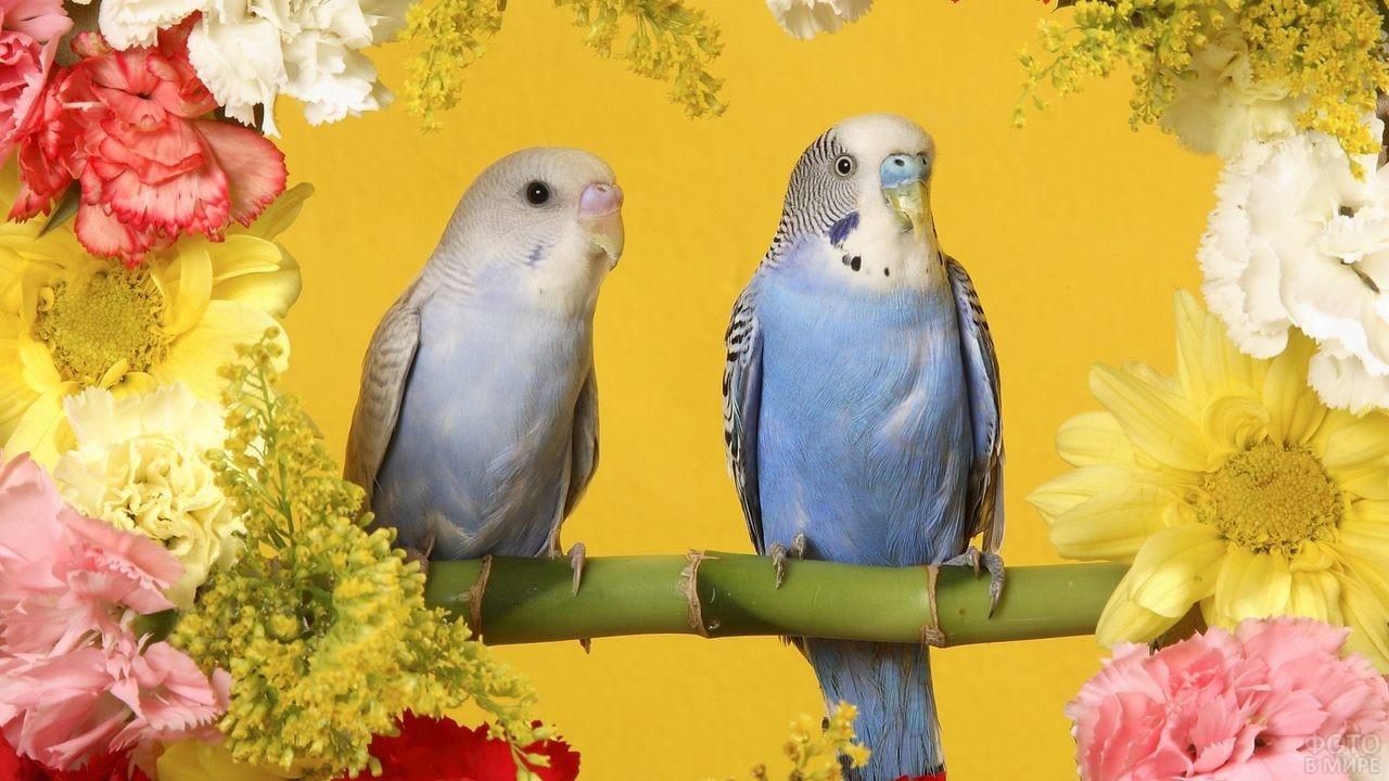 Два волнистых попугая на жёлтом фоне